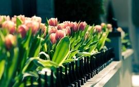 Flowers pink tulips wallpaper