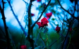 Flowers plants bokeh depth of field roses branches red flowers wallpaper