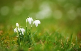 Flowers plants galanthus wallpaper