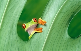 Frogs redeyed tree frog amphibians wallpaper