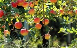 Fruits apples fruit trees wallpaper