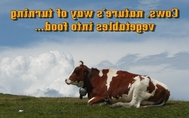 Funny cows wallpaper