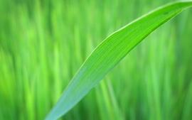 Grass blade macro wallpaper