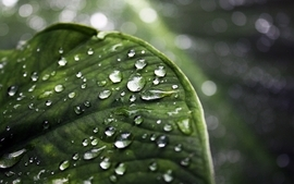 Green leaf water drops depth of field wallpaper