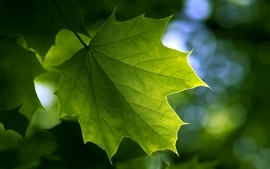 Green nature leaf leaves plants maple leaf depth of field wallpaper