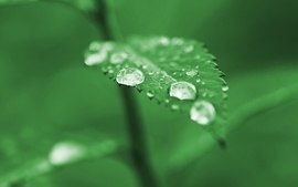 Green nature leaves plants water drops dew wallpaper