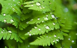 Green nature leaves plants water drops ferns wallpaper