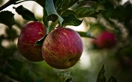 Green nature trees fruits leaves apples fruit trees wallpaper