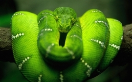 Green snakes branches wallpaper