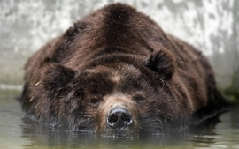 Grizzly bears bears wallpaper
