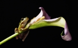 Hanging frogs lilies amphibians wallpaper
