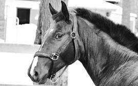 Horses grayscale wallpaper