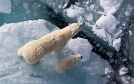 Ice white animals polar bears baby animals wallpaper