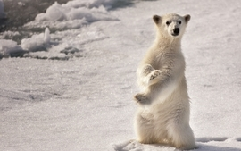 Ice winter season animals arctic polar bears wallpaper