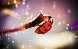 Insects beetle macro ladybirds wallpaper