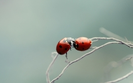 Insects bugs macro ladybirds wallpaper