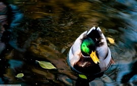 Lakes wild duck wallpaper