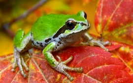 Leaf animals frogs amphibians wallpaper