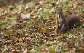 Leaves grass squirrels wallpaper