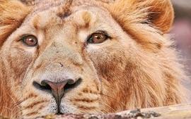 Lions colors wallpaper