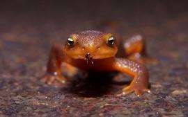 Lizards frogs macro ant wallpaper