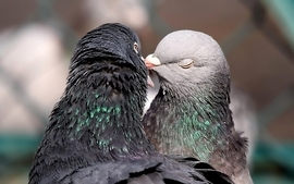 Love funny pidgeon wallpaper