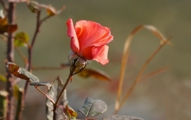 Macro roses wallpaper