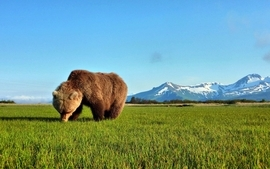 Mountains landscapes nature trees forest animals grass grizzly wallpaper