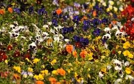 Multicolor flowers pansies wallpaper