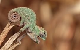 Nature animals chameleons funny lizards reptiles depth of field wallpaper