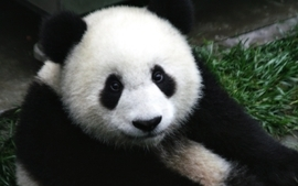Nature animals panda bears wallpaper