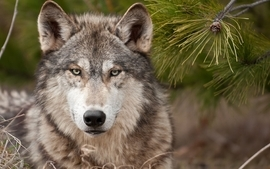 Nature animals wildlife wolves wallpaper