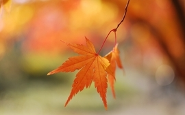 Nature autumn season leaves maple leaf depth of field wallpaper