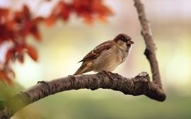 Nature birds animals sparrow wallpaper