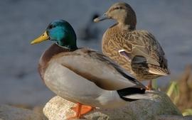 Nature birds ducks animal world wallpaper