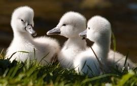Nature birds ducks duckling baby birds wallpaper