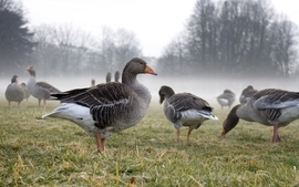Nature birds ducks mist goose wallpaper
