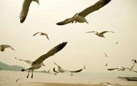 Nature birds flock animals fly seagulls wallpaper
