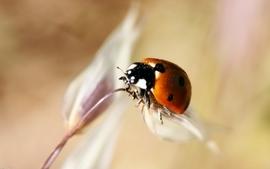 Nature bugs macro ladybirds 2 wallpaper