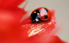 Nature bugs macro ladybirds wallpaper