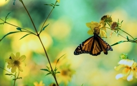 Nature butterfly wallpaper