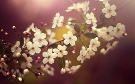 Nature cherry blossoms flowers japanese macro depth of field wallpaper