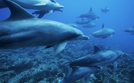 Nature dolphins wallpaper