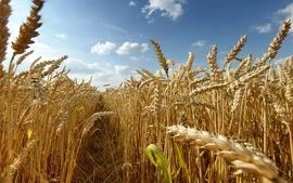 Nature fields wheat grain wallpaper