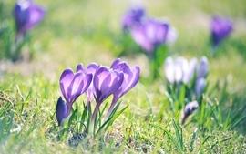 Nature flowers crocus purple flowers wallpaper