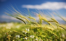 Nature flowers fields wheat wallpaper