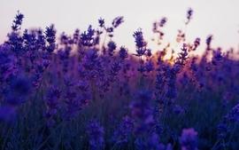 Nature flowers lavender wallpaper