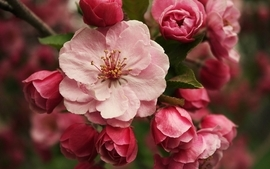 Nature flowers pink spring season blossoms wallpaper