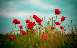 Nature flowers plants poppy wallpaper