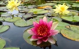 Nature flowers plants water lilies wallpaper